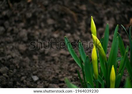 два · желтый · Лилия · изолированный · белый · цветок - Сток-фото © mcherevan