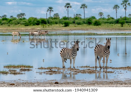 Group of Zebras starring at the camera. Stock photo © simoneeman
