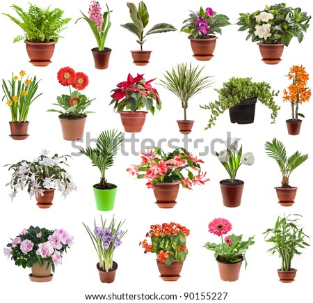 The flowering poinsettia plants in pots isolated on white background. A traditional symbol of Christ Stock photo © Lady-Luck