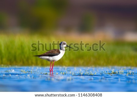 A Black-winged Stilt (Himantopus himantopus) standing in a pond  Stock photo © davemontreuil