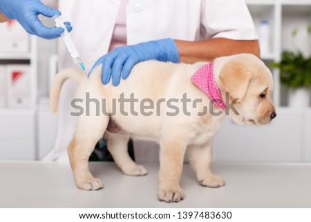 Stock fotó: Aranyos · labrador · kutyakölyök · kutya · injekció · állatorvosi