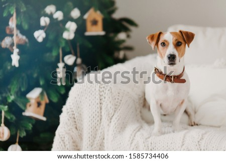 Indoor shot of pedigree dog with collar on neck, poses on comfortable sofa near wrapped holidays pre Stock photo © vkstudio