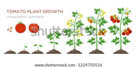 Set of stages of life of a agricultural plant red tomato isolated on white background. Paper packagi Stock photo © Lady-Luck