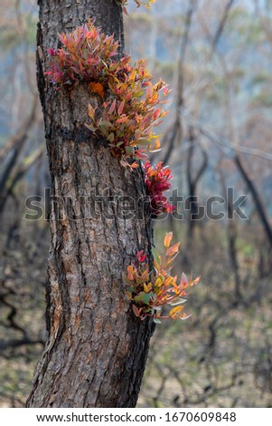 Epicormic leaf growth from a burnt tree trunk triggered after bu Stock photo © lovleah