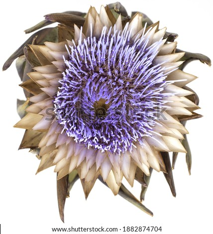 Dry artichoke flowers on a white background. The view from the top Stock photo © butenkow