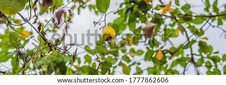 Caju maçã ramo floresta bandeira longo Foto stock © galitskaya