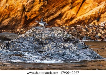 Penguen çığlık atan kaya ada tehlikedeki türler Stok fotoğraf © Maridav