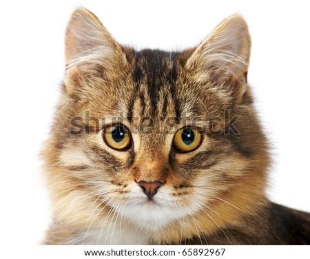 Immagine soffice grigio cat guardando fotocamera Foto d'archivio © cozyta