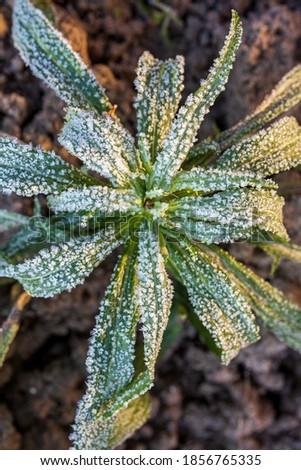 leaves with hoar frost in winter Stock photo © meinzahn