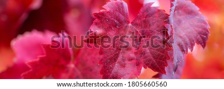 Orange Yellow Leaves Vines Rows Grapes Fall Vineyards Red Mounta Stock photo © billperry