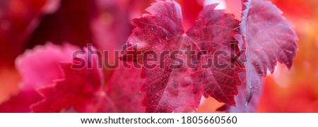 Turuncu sarı yaprakları sarmaşıklar üzüm Stok fotoğraf © billperry