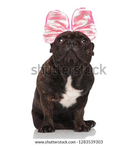 adorable french bulldog wearing pink ribbon looks up while sitti Stock photo © feedough