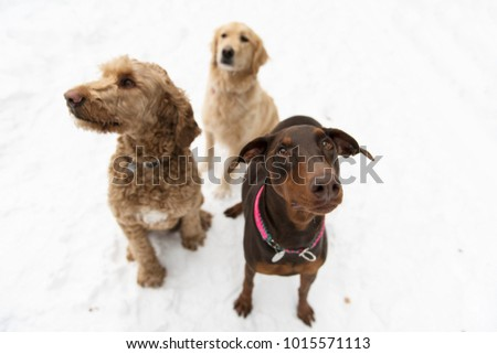 doberman, Golden retreiver and goldendoodle dog through winter snow season Stock photo © Lopolo