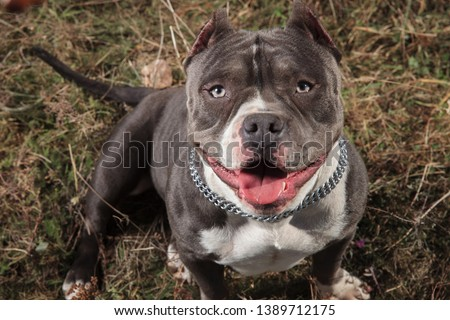 American bully sitting and looking curiously Stock photo © feedough