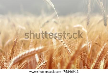 Spikelets of wheat, illuminated by bright sunshine. Wheat field Stock photo © konradbak
