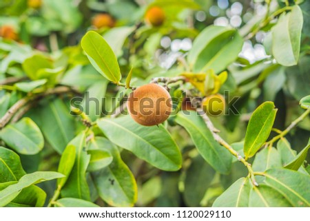 Persimmon tree and velvet persimmon contrast beautifully with their green leaves Stock photo © galitskaya