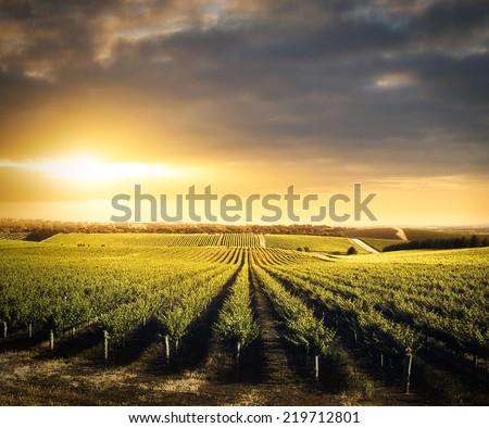 Gyönyörű bor szőlő szőlőskert farm délután Stock fotó © feverpitch