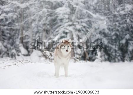 Kabarık boğuk köpek oturma kar Stok fotoğraf © pressmaster