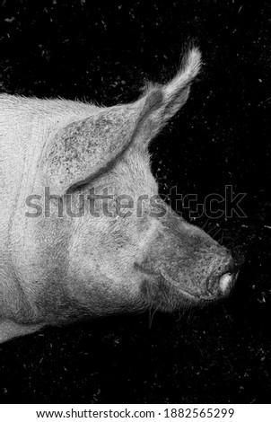 porcine head Stock photo © smuki