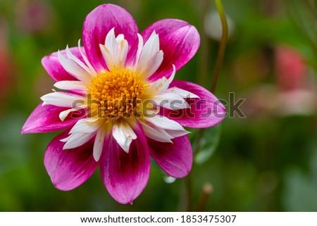 георгин розовый желтые цветы точки парка желтый Сток-фото © iriana88w