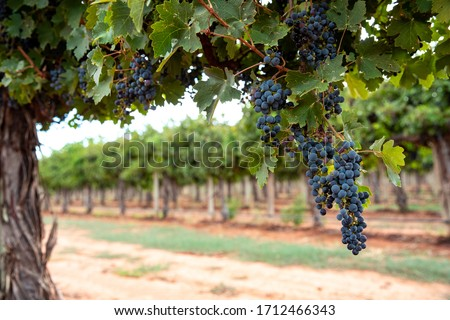 large bunches of red wine grapes hang from an old vine in warm a stock photo © yatsenko