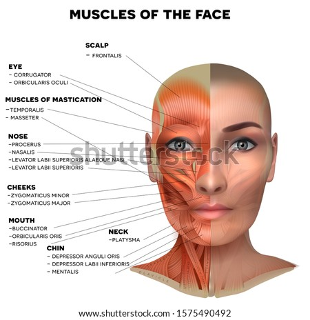 muscles of the face and neck detailed bright anatomy on a blue b stock photo © tefi