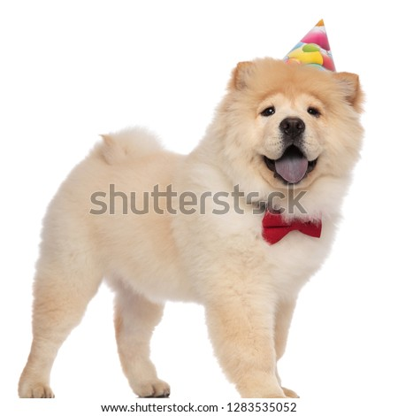 excited chow chow wearing red bowtie and birthday hat panting Stock photo © feedough