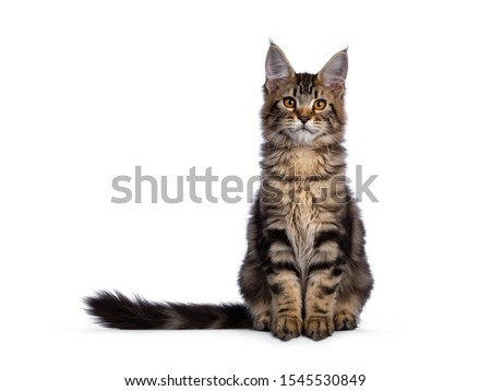 maine coon cat in the color black tabby stock photo © zerbor