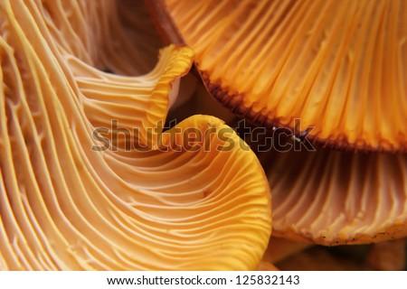 beautiful chanterelle close-up Stock photo © romvo