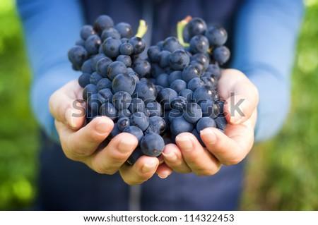 Grapes harvest in vineyard. Young beautiful Woman holds a bucket Сток-фото © Yatsenko