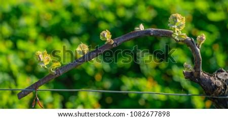 Novo bicho folhas primavera videira Foto stock © FreeProd
