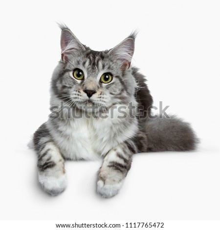 Stock photo: Black silver classic tabby white Maine Coon kitten