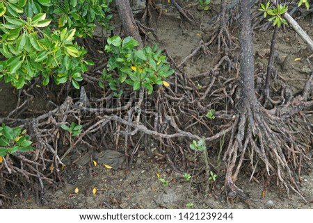 undergrowth and roots of Mangrove trees In the Everglades Nation Stock photo © meinzahn