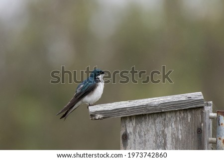 Cautious Tree Swallow