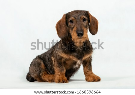 lovely puppy wired hair dachshund portrait in white photo studio stock photo © vauvau