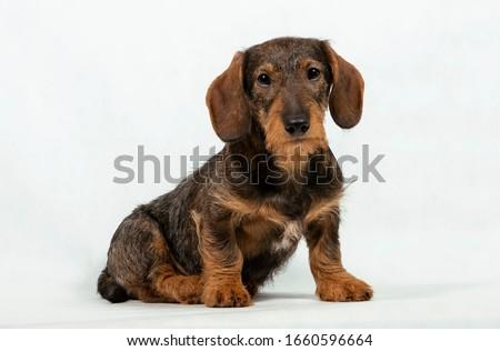 子犬 髪 ダックスフント 肖像 白 写真 ストックフォト © vauvau
