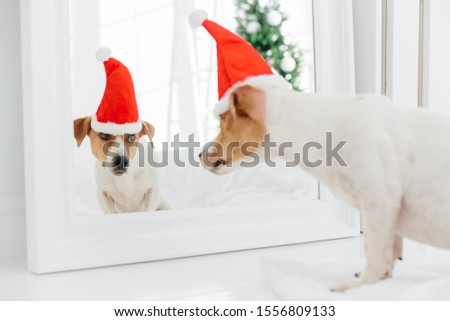 Jack Russell terrier dog wears Santa Claus hat, poses on white bed in spacious bedroom against big w Stock photo © vkstudio