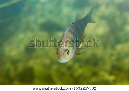 Big European perch swimming in clear water Stock photo © Mps197