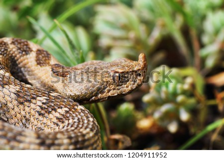 closeup of beautiful and dangerous european nose horned viper Stock photo © taviphoto