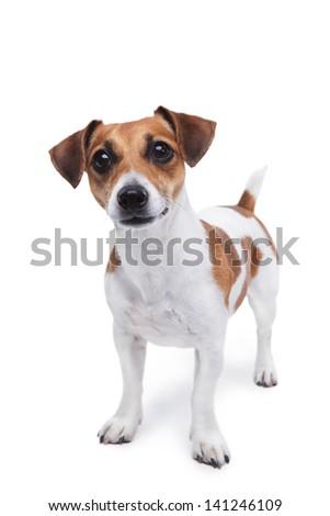 Aanbiddelijk jack russell terrier vergadering witte oog Stockfoto © vauvau