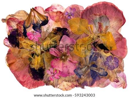 blood geranium Stock photo © smithore