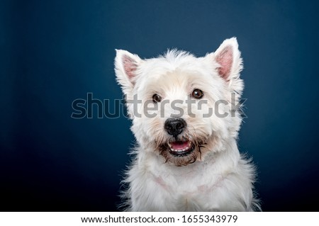 West Highland White Terrier sitting the photostudio, blue backgr Stock photo © vauvau