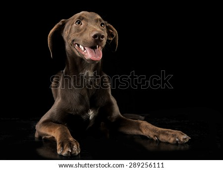 Funny ears mixed breed brown dog relaxing in black studio backgr Stock photo © vauvau