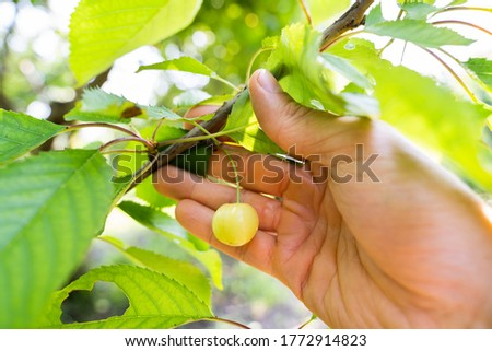 Farmer Hand Checking Unripe Cherry Growth Stock photo © AndreyPopov