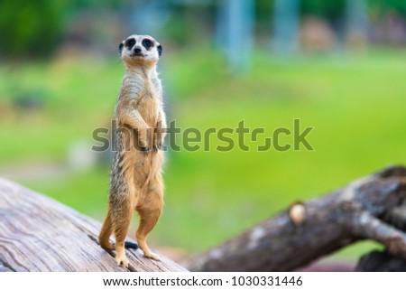 portrait of meercat Stock photo © tungphoto