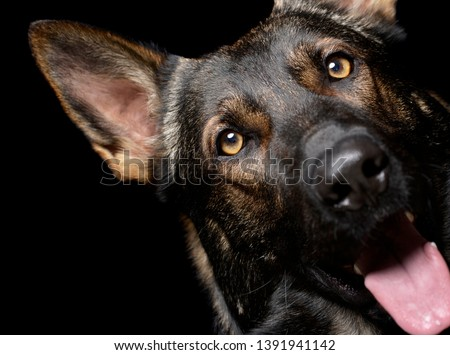 german shepherd portrait in a dark studio stock photo © vauvau