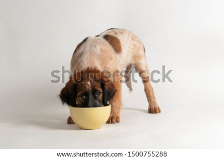 cute little mixed breed dog eating dried meat in white studio fl stock photo © vauvau