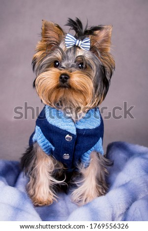 Stock photo: Sweet yorkshire terrier sitting and looking up in photo studio
