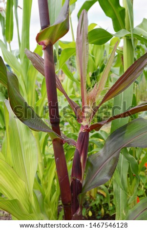 Corn cob with a silk grows on a deep red Fiesta sweetcorn plant Stock photo © sarahdoow