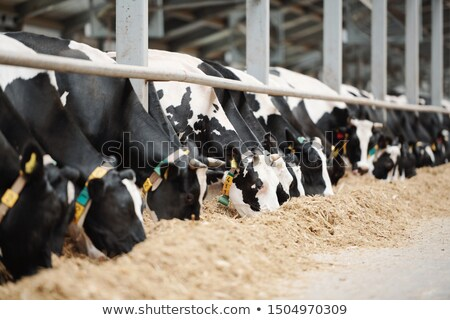 Long row of black-and-white dairy cows while eating fresh hay in cowshed Stock photo © pressmaster